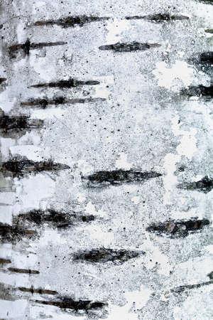 birchbark: background texture of birch bark close up