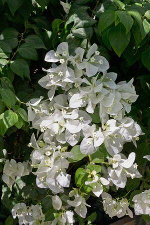 shrub: shrub with white bougainvillea flowers close up Stock Photo
