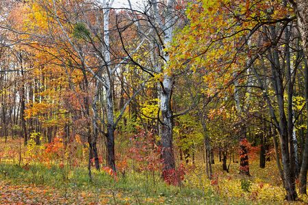 yellow trees: autumn landscape yellow trees in the deciduous forest Stock Photo
