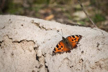pokrzywka: Pomarańczowy Motyl pokrzywka zbliżenie na tle piasku Zdjęcie Seryjne