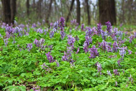 corydalis: Spring meadow with blooming purple Corydalis closeup