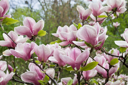 magnolia branch: pink Magnolia flowers on a branch closeup Stock Photo