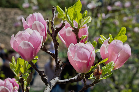 magnolia branch: magnolia branch with pink flowers closeup