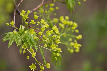 Spring flowering maple closeup. Branch with flowers
