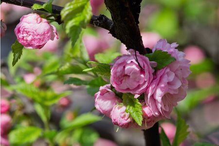 almond bud: Pink almond bush with flowers closeup
