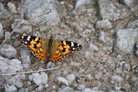 imago: orange butterfly painted lady on the ground among the rocks closeup Stock Photo