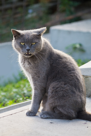 gray cat: mewing gray cat with yellow eyes closeup