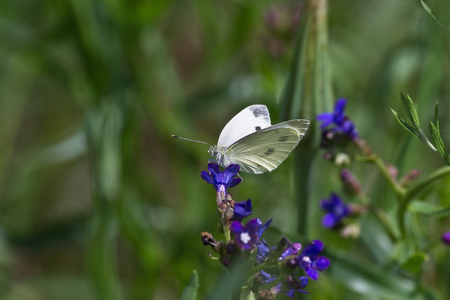 pieris: Pieris rapae butterfly on blue flower close up