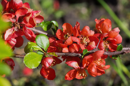 membrillo: flores de membrillo japonés en un primer ramal Foto de archivo