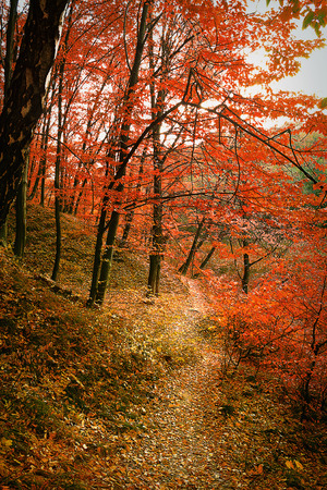 Trail in autumn deciduous forest with red trees