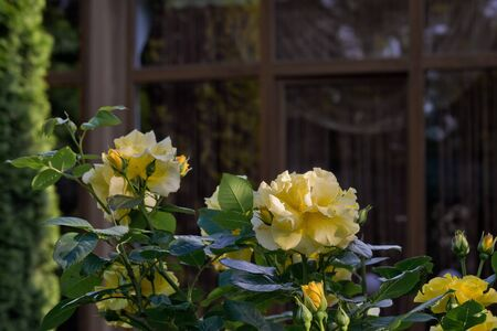 yellow rose in a garden on a background of a window Stock Photo