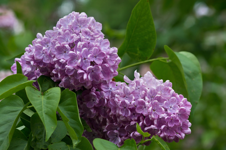 sprig of flowering purple lilacs on a bush closeup Фото со стока