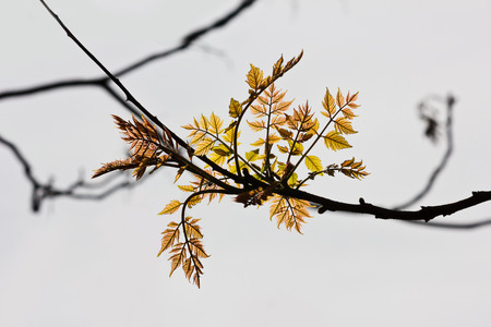 spring branch with blossoming leaves closeup on white background
