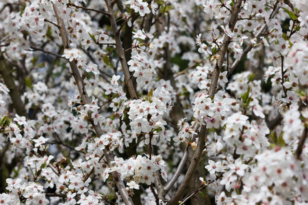 Crown of a blossoming spring apricot tree with white flowers Фото со стока