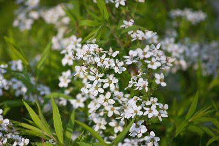 Flowering branch of white spiraea.  White spring flowers closeup