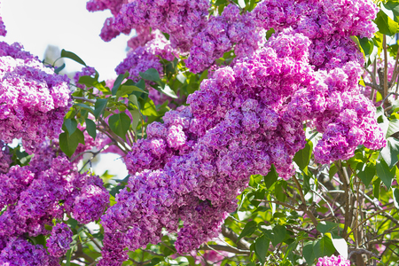 bush with purple lilac closeup Imagens