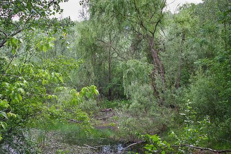 forest lake overgrown with trees and bushes. Summer landscape Stock Photo