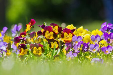 Flower bed with blue and yellow pansies closeup
