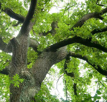 Ancient Oak Stock Photo - 3426367