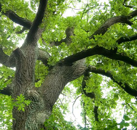 canopy: Ancient Oak