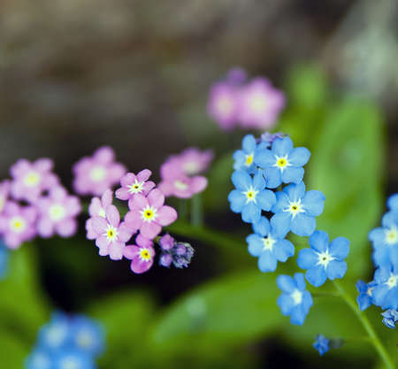 Detail of flowering forget-me-not plants.  photo