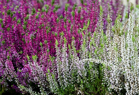 heather: Detail of a multicolored flowering heather plant. Stock Photo