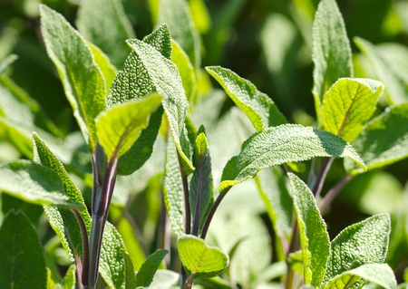 Detail of a sage kitchen herb. Stock Photo - 14269179