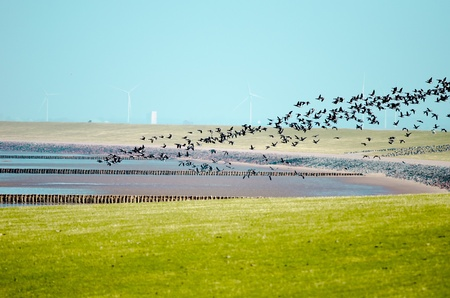 Some barnacle geese, migratory birds, flying over  a nature reserve territory in North Frisland  photo