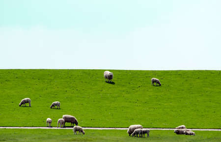 Detail of a group of dike sheep standing on a dyke eating grass. photo