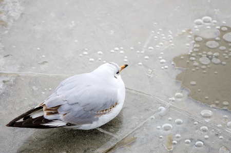 An seagull resting on a partly cracked and transparent ice floe with locked up air bubbles. photo