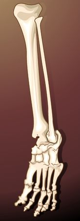Illustration of a human leg bone  illustration