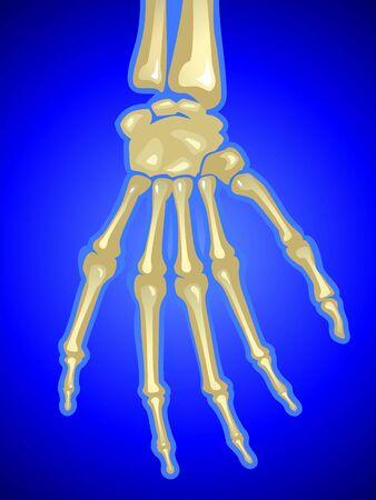 anklebone: Illustration of human hand bones