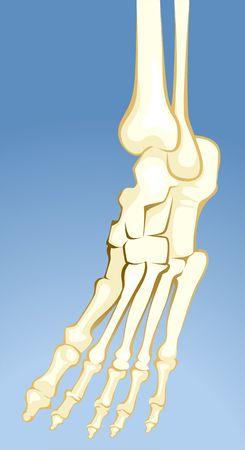 talus: Ilustraci�n de los huesos de la pierna  Foto de archivo