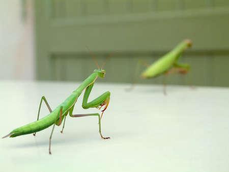 Praying Mantis chasing her male photo