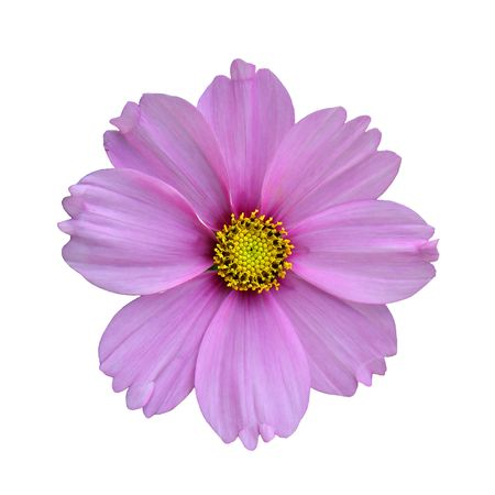 Purple flower isolated on white, with yellow