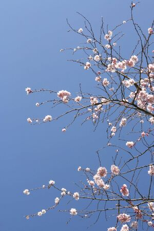 Beautiful tree in blossom, against a blue sky (vertical) Stock Photo - 815607