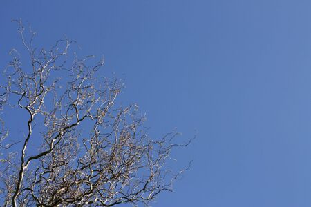 sinuous: Sinuous tree over a shaded blue sky (horizontal)
