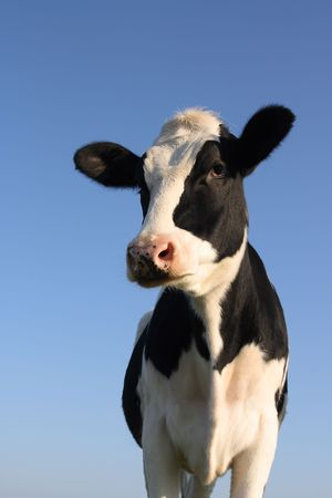 Attentive black and white cow over a blue sky background Stock Photo