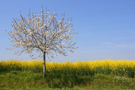Apple tree in blossom beside a rape field (horizontal) Stock Photo - 885371