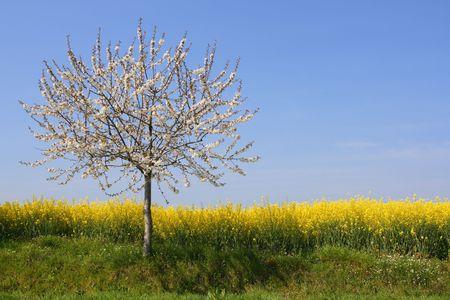 Apple tree in blossom beside a rape field (horizontal) Stock Photo - 885371