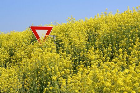 overrun: Overflowing rape field in Brittany, immersing a stop sign Stock Photo