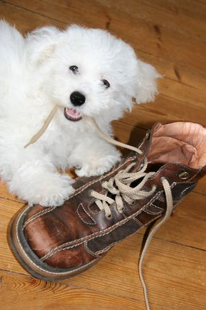 Naughty puppy eating shoelaces (bichon frise) Stock Photo