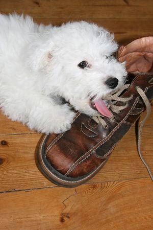 impish: Naughty puppy licking shoelaces (bichon frise)