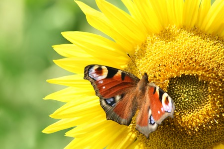 io: European Peacock (Inachis io), on a sunflower