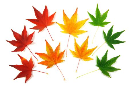 Set of Japanese Maple leaves, gradation over a white background photo