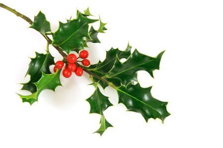 holly berries: holly branch, over a white background Stock Photo