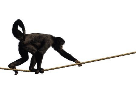 rope bridge: Monkey climbing on a rope, isolated on white
