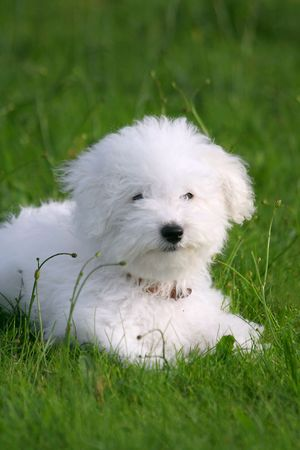bichon: A cute bichon frise puppy, in the grass