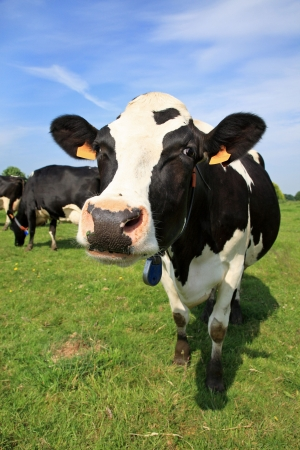 dairy cow: Welcoming black and white cow in a field Stock Photo