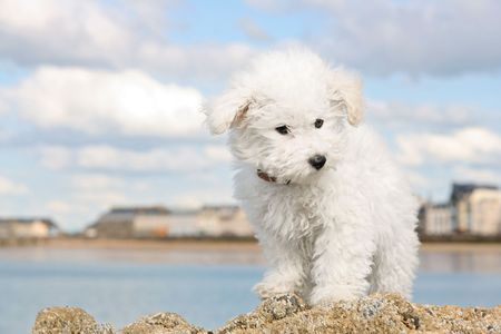 bichon: A cute bichon frise puppy at the sea